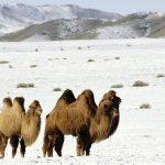 جمل camel Size:191.30 Kb Dim: 1024 x 768