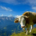 بقره Cow