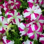 زهور Size:215.50 Kb Dim: 800 x 600