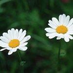 زهور29