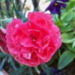 زهور في كفرخل1