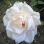 وردة بيضاء Size:199.90 Kb Dim: 1152 x 864