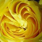 وردة صفراء Size:53.10 Kb Dim: 800 x 600