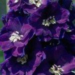 زهرة البنفسج