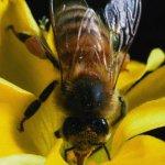 زهرة ونحلة