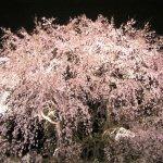 Cheery Blossom Size:62.60 Kb Dim: 500 x 375