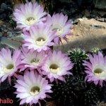 أجمل أزهار الصبار 1