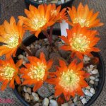 أجمل أزهار الصبار 2