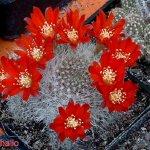أجمل أزهار الصبار 3