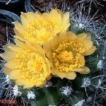 أجمل أزهار الصبار 5