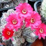 أجمل أزهار الصبار 6
