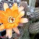 أجمل أزهار الصبار 7