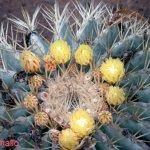 أجمل أزهار الصبار 8