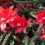 أجمل أزهار الصبار 10
