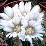 أجمل أزهار الصبار 11