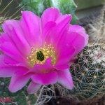 أجمل أزهار الصبار 13
