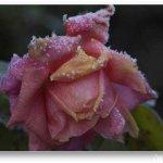 الورد في بداية الشتاء1