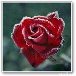 الورد في بداية الشتاء2