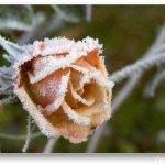 الورد في بداية الشتاء3