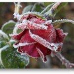 الورد في بداية الشتاء4