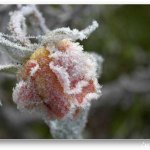 الورد في بداية الشتاء5