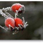 الورد في بداية الشتاء9