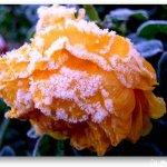 الورد في بداية الشتاء11