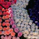 مهرجان الورد في جمال الورد7