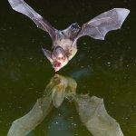 صور لخفاش يشرب الماء 2