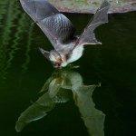 صور لخفاش يشرب الماء 3