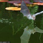 صور لخفاش يشرب الماء 4