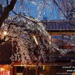 موسم تفتح زهرة الكرز في الياب1