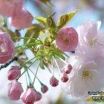 موسم تفتح زهرة الكرز في الياب4