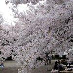 موسم تفتح زهرة الكرز في الياب6