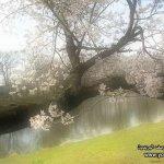 موسم تفتح زهرة الكرز في الياب7