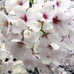 موسم تفتح زهرة الكرز في الياب10