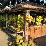 ثمار فاكهة النارجيل