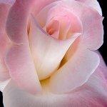 وردة الحب