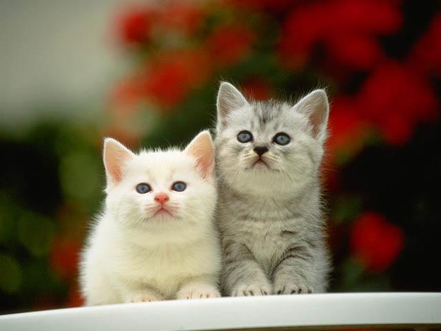 صور قطط جميلة 24_17618_1184152866.