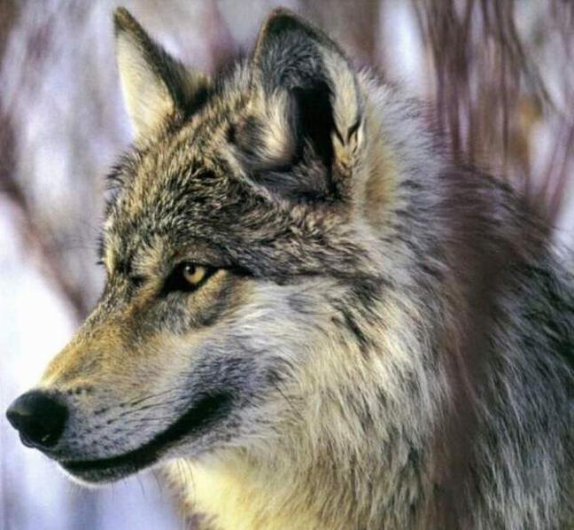 البوم الحيوانات المفترسه حيوانات مفترسة حيوانات