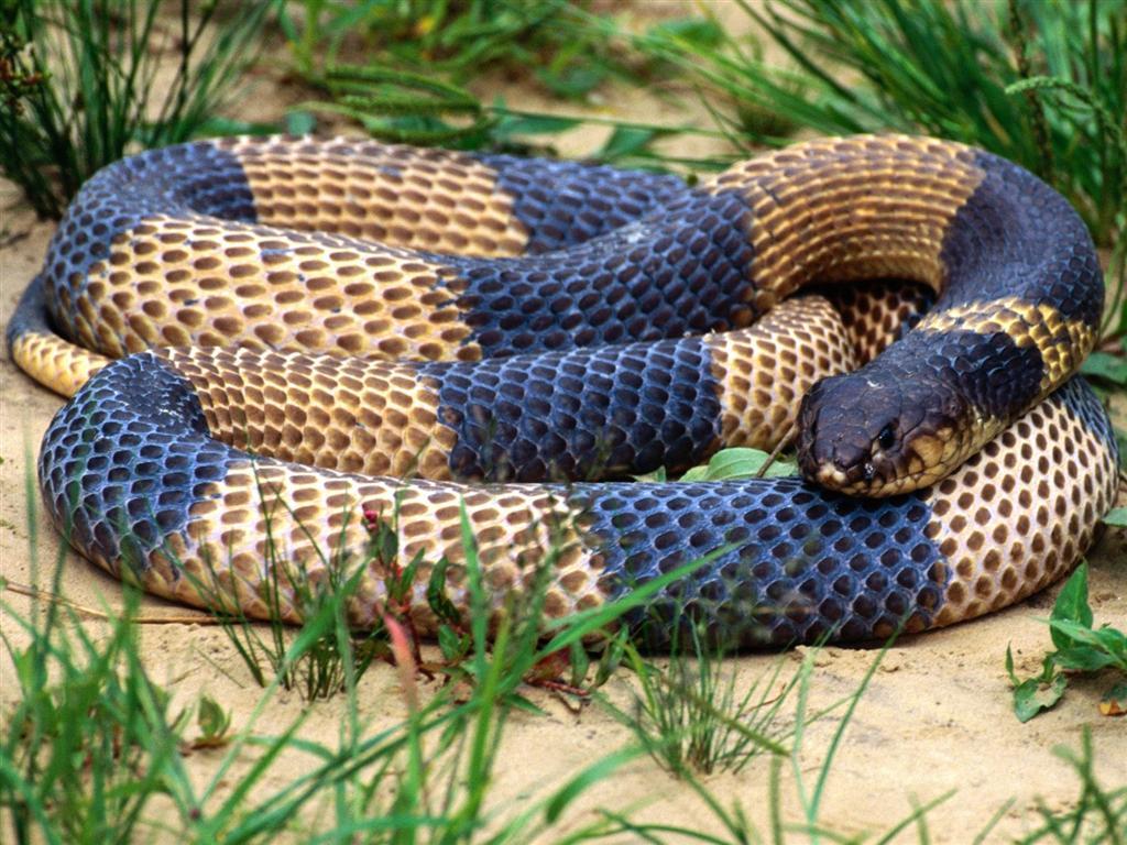 King Snake Hd Pictures Fantastic Snake Wallpaper: مجلـس الحـياة البريـة والبحريـة والطـيور