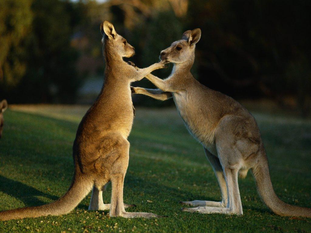 صور حيوان الكنغر  - Photos kangaroos - اجمل صور للكنغر
